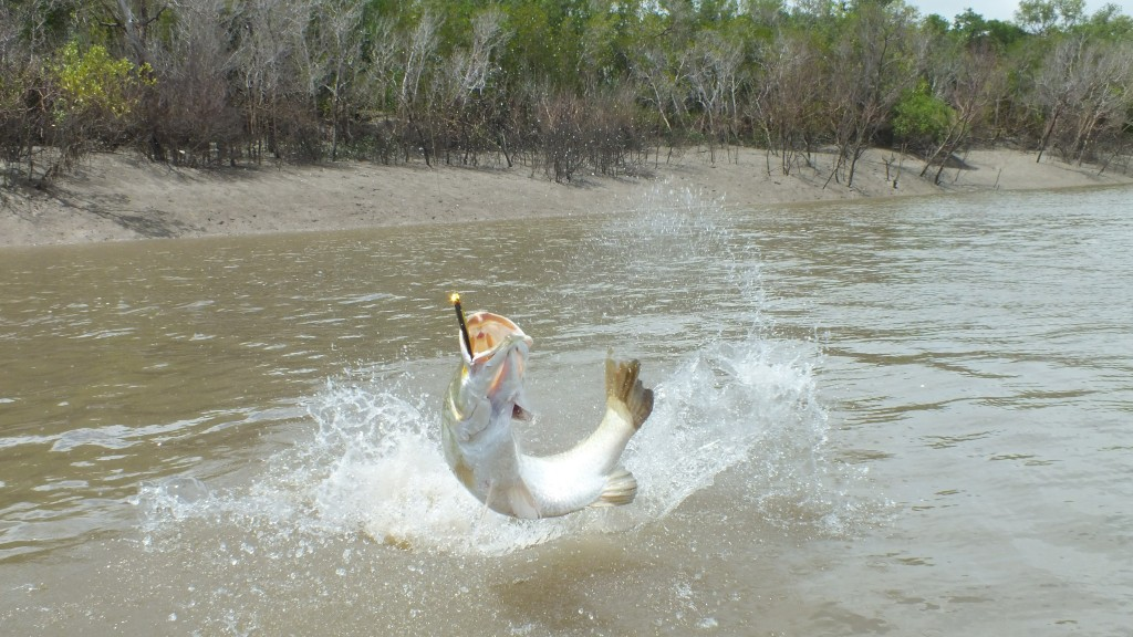 Big Barramundi Jumps